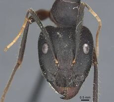 Camponotus riedeli casent0917222 h 2 high.jpg