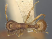 MCZ-ENT00534463 Myrmica wheelerorum had.jpg