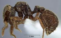 Calyptomyrmex lineolus side view