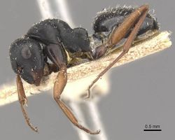 Camponotus scalaris casent0910463 p 1 high.jpg