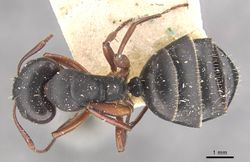 Camponotus scalaris casent0910462 d 1 high.jpg
