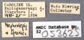 Nylanderia north-vaga ANIC32-053625 labels-Antwiki.jpg