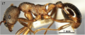 Fig. 17 Chen et al. 2016 Myrmica huaii worker body in profile.png