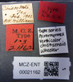 MCZ-ENT00021162 Atta versicolor chisosensis syntype labels.jpg