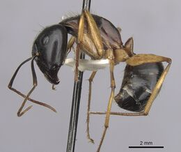 Camponotus prostans casent0280199 p 1 high.jpg