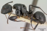 Camponotus echinoploides casent0101379 profile 1.jpg
