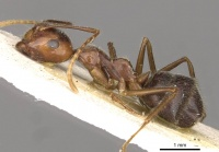 Camponotus overbecki casent0910416 p 1 high.jpg