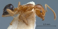 Philidris-myrmecodiae-nigriventris-lateral-am-lg.jpg
