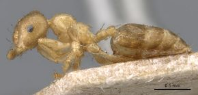 Crematogaster captiosa casent0902111 p 1 high.jpg