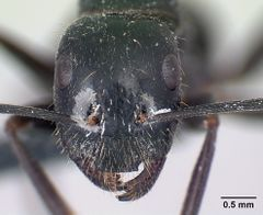 Camponotus aethiops casent0179459 h 1 high.jpg