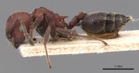 Crematogaster mimosae casent0904507 p 1 high.jpg