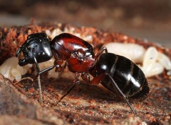 350px-Camponotus-noveboracensis_queen_43