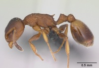 Temnothorax affinis casent0173201 profile 1.jpg