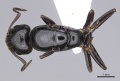Camponotus honaziensis casent0914264 d 1 high.jpg