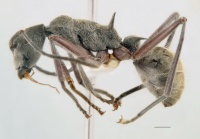 Polyrhachis sexspinosa side view