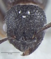 Fig.-1-Gyne Myrmica nefaria- head.jpg