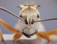 Polyrhachis andromache - AntWiki