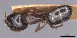 Camponotus natalensis fulvipes casent0905229 d 1 high.jpg