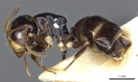 Camponotus flavocassis casent0903562 p 1 high.jpg