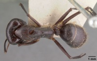Camponotus roeseli casent0101602 dorsal 1.jpg
