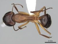 Camponotus pilicornis casent0249993 d 1 high.jpg
