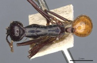 Polyrhachis croceiventris casent0905598 d 1 high.jpg