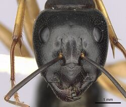 Camponotus prostans casent0280199 h 1 high.jpg