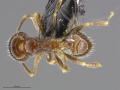 Mcz-ent00668739 Pheidole bicarinata minor had.jpg
