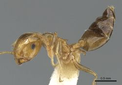 Crematogaster gambiensis casent0902057 p 1 high.jpg