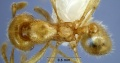 Anisopheidole antipodum minor ANIC32-053394 top 63-Antwiki.jpg