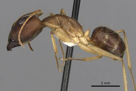 Camponotus extensus casent0280219 p 1 high.jpg