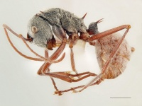 Polyrhachis bicolor side AntWiki.jpg
