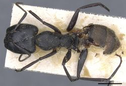 Camponotus chyrusurs securifer casent0905446 d 1 high.jpg