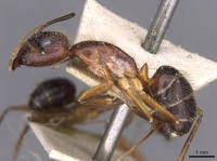 Camponotus picipes casent0910007 p 1 high.jpg