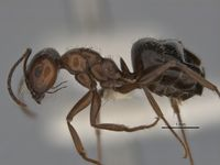 Melophorus sericothrix major side ANIC32-900103.jpg