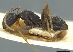 Camponotus jeanneli casent0911649 p 1 high.jpg