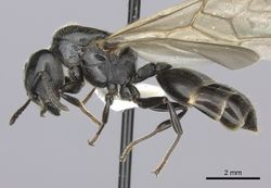 Crematogaster mafybe casent0193464 p 1 high.jpg