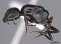 Camponotus honaziensis casent0914264 p 1 high.jpg
