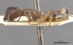 Camponotus lilianae casent0910557 p 1 high.jpg