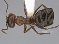 Melophorus sericothrix major top ANIC32-900103.jpg
