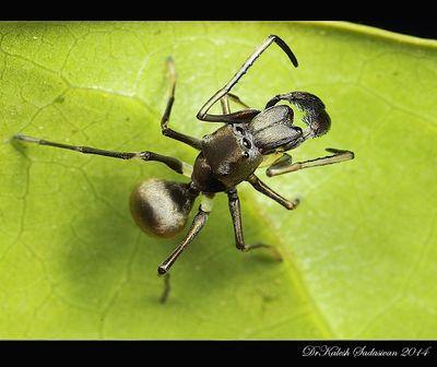 ant in india