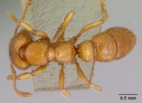 Stigmatomma ferrugineum top view