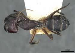 Camponotus congolensis weissi casent0911931 d 1 high.jpg