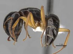 Camponotus lownei casent0280215 p 1 high.jpg