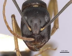 Camponotus prostans casent0280200 h 1 high.jpg