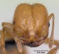 solenopsis geminata kaufen