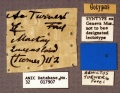 Aenictus turneri ST ANIC32-017907 labels-Antwiki.jpg