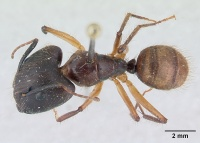 Camponotus atriceps casent0178616 dorsal 1.jpg