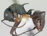 Polyrhachis hippomanes casent0103195 profile 1.jpg