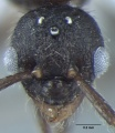 Fig.-10-Male Myrmica nefaria-head.jpg